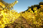 Golden leaves of Napa Valley