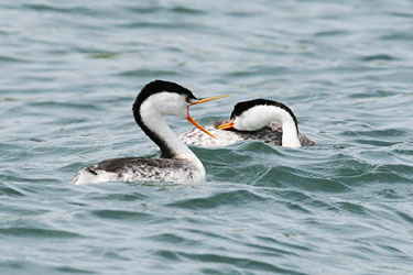 Clarks-Grebe-courtship-051610-2-Clear-Lake.jpg