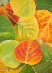 Aspen-Leaves-copy.jpg